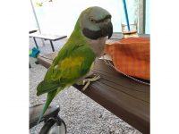 Hledá se papoušek Kuki