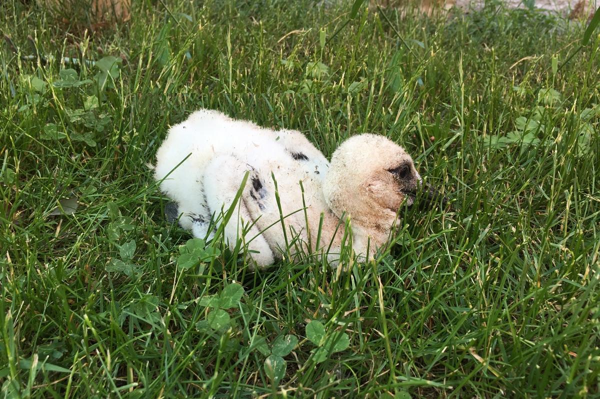 FOTO: Čapí mládě se nakonec podařilo zachránit