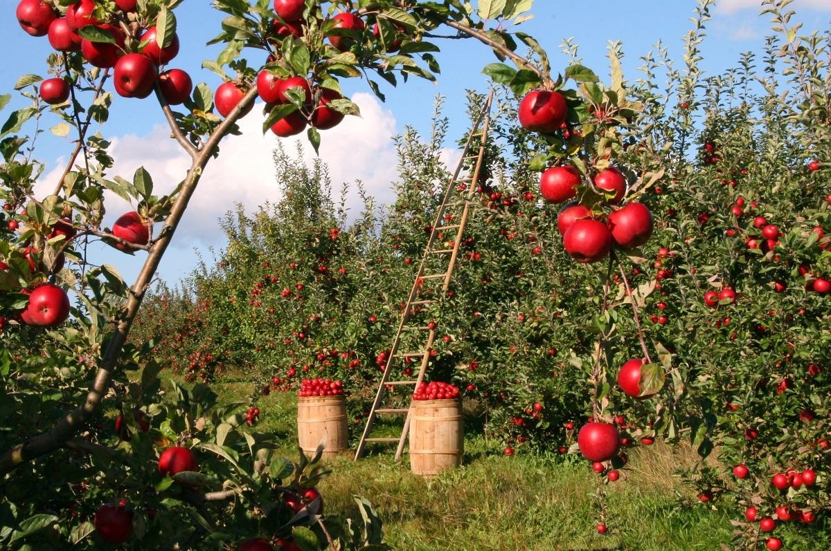 Na statku vykupují jablka