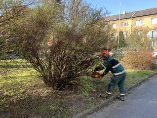 Vladislava Kopitzová: Odborná firma bude na Šídlovci od 10.11.provádět ořezy kulovitých javorů